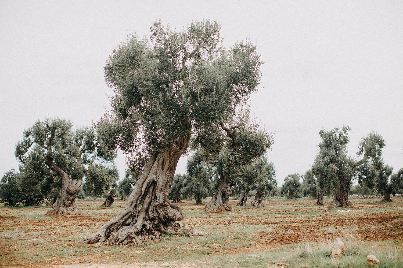 Olive threes masseria montenapoleone