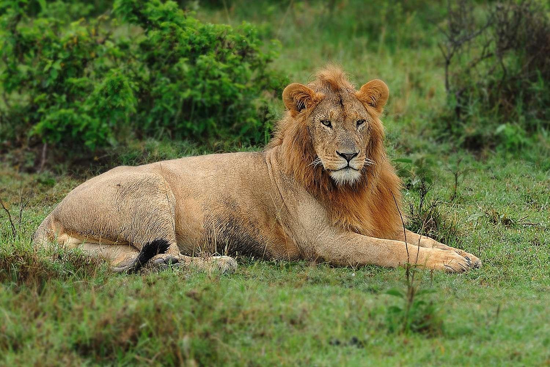 Zoomlens of prime Leeuw met zoomlens
