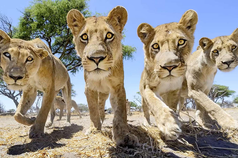 Zoomlens of prime leeuwen met prime